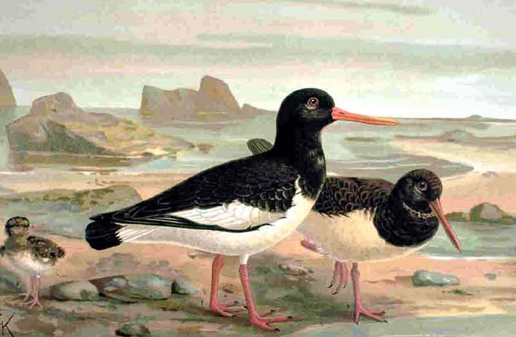 Oystercatcher drawing by naumann 1905 753px
